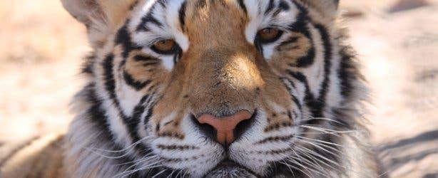 Bengal Tiger at Panthera Africa Lion Sanctuary Cape Town