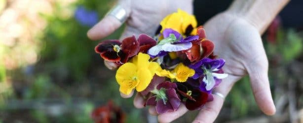 veld_and_sea_pansies