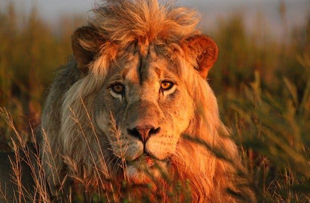 Lion at Gondwana Game Park