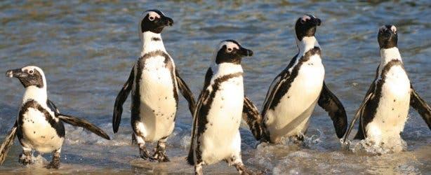penguins at the SanParks Boulders Beach