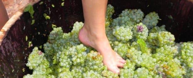 Delheim Wine stomping | harvest festival