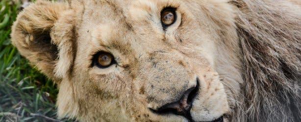 Lion at Panthera Africa Lion Sanctuary Cape Town