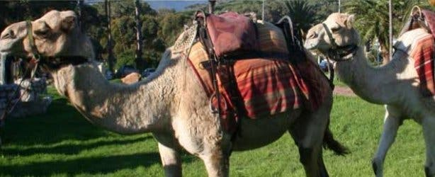 Camel Ride Imhoff Farm