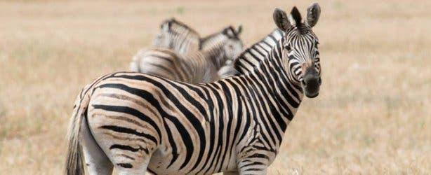Zebra at Thali Thali Game Lodge West Coast