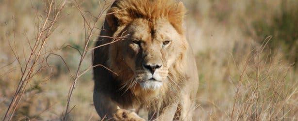 Lion at Drakenstein Lion Park