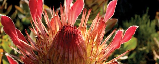 A protea flower at one of the SanParks