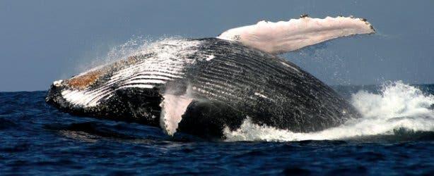 madiba-whale-breaching