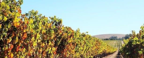 Cape Winelands vineyards