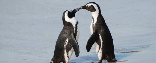 Pingune in kAPSTADT