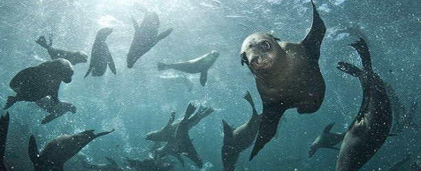 seal snorkeling colony