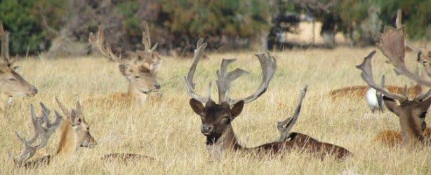 Fallow Deer at Saxenburg Wine Farm Stellenbosch
