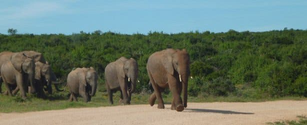 Elephants at the Addo National Park