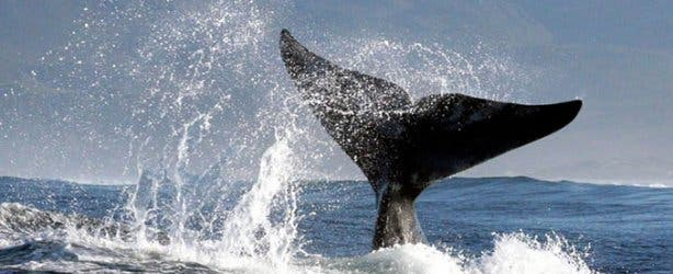 MLT Whale