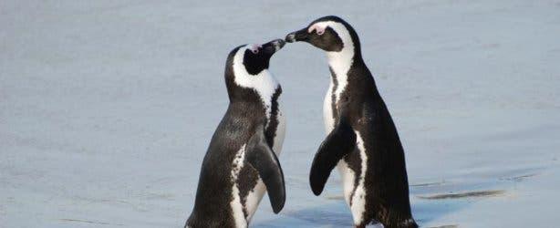 penguins_boulders_pic_paul_mannix_flickr