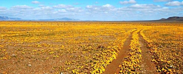 SANParks Tankwa NP Flowers
