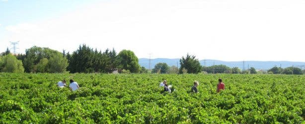 Hanepoot grape picking de krans cape town