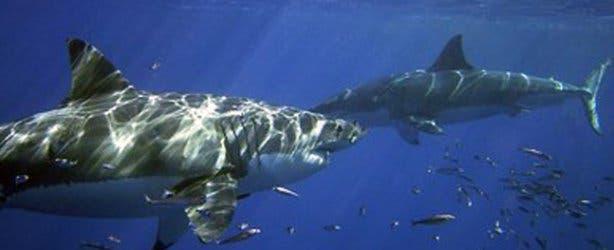 2 white sharks