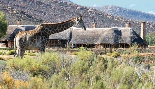 aquila giraffe restaurant