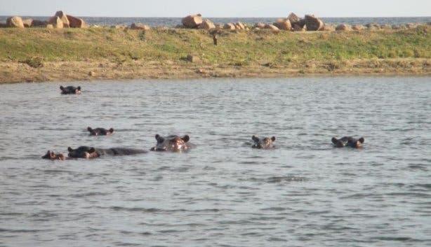 Antje Waldschmidt Flusspferde in Simbabwe