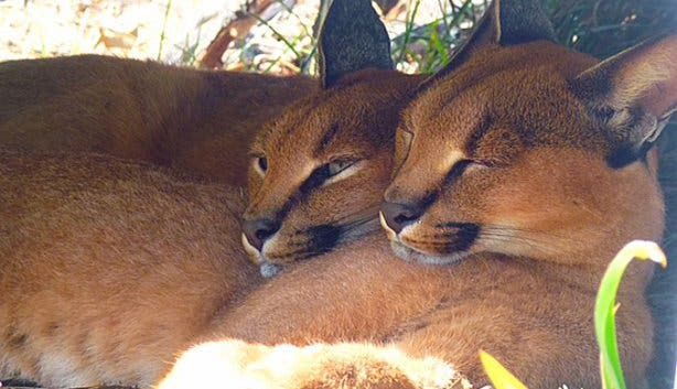 Caracals at Panthera Africa Lion Sanctuary Cape Town