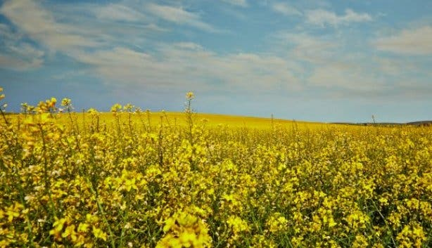 B_Well_Festival_of_Yellow_South_Africa_canola_fields