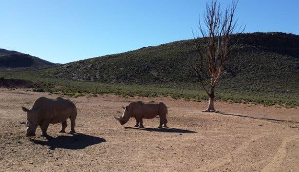 Rhinos at Aquila