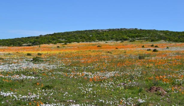 West Coast National Park yellow and orange Flower Carpet