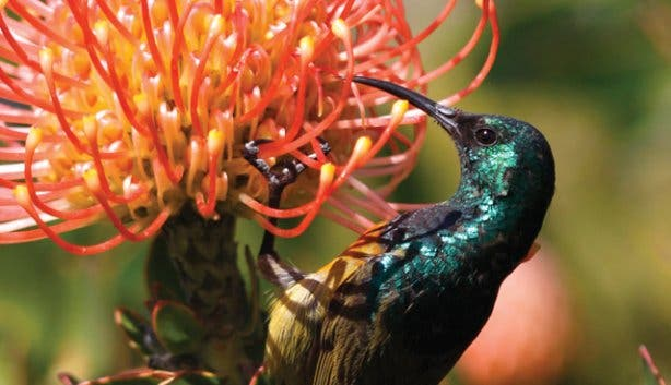 a green humming bird sitting on a protea flowers at a sanpark reserve
