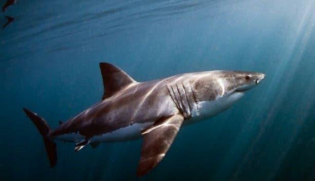 White Shark 4