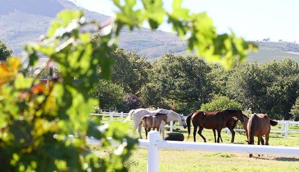 Avontuur Wine Estate horses