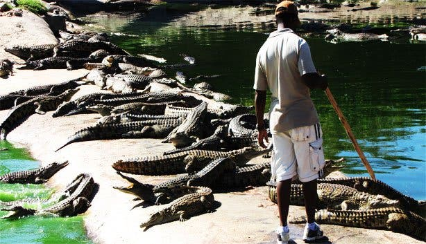 Crocodile Farm5