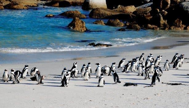 Madiba - pinguins