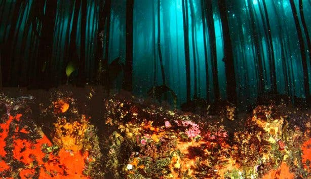 Into The Blue Kelp Forest
