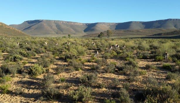 springbok at Aquila