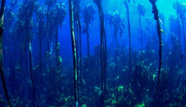 Into The Blue Kelp Forest 2