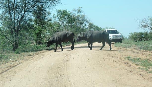 Büffel Krugerpark