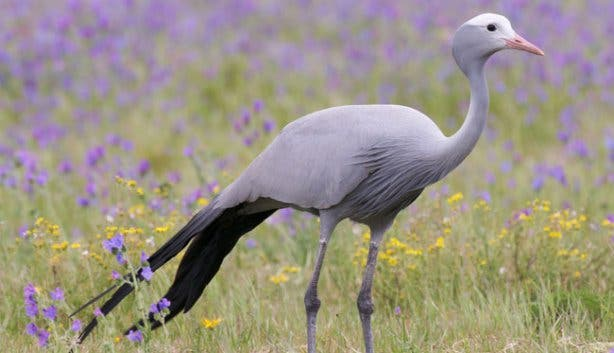 Blue Crane National Bird South Africa