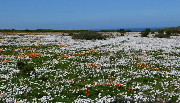 West Coast National Park flower carpet