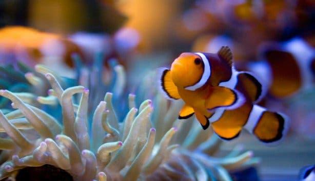 2 oceans aquarium clownfish