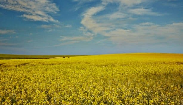 B-Well_South_Africa_Canola_field