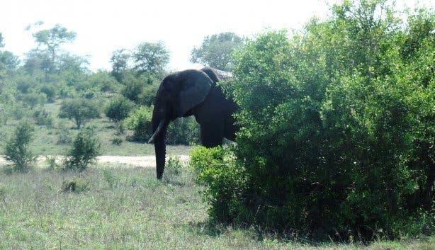 Elefant im Krügerpark