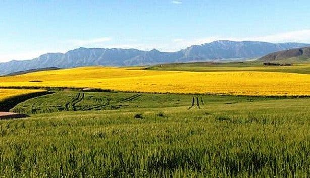 Big Bee Festival Swellendam Canola fields