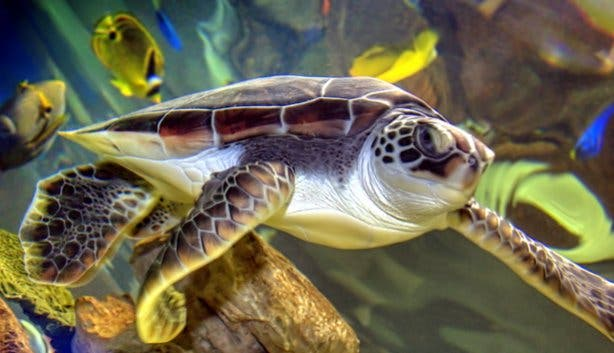 Loggerhead Turtle at 2 Oceans Aquarium