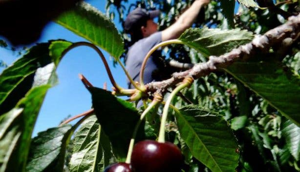 Cherry Picking at Klondyke