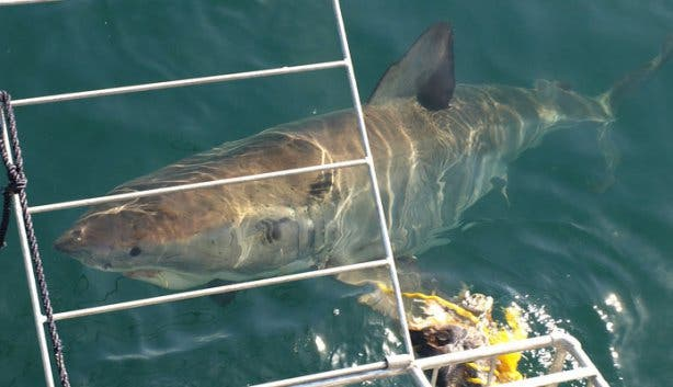 Shark Cage Diving Surface