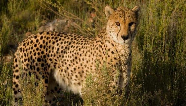 Cheetah Aquila Game Reserve Western Cape