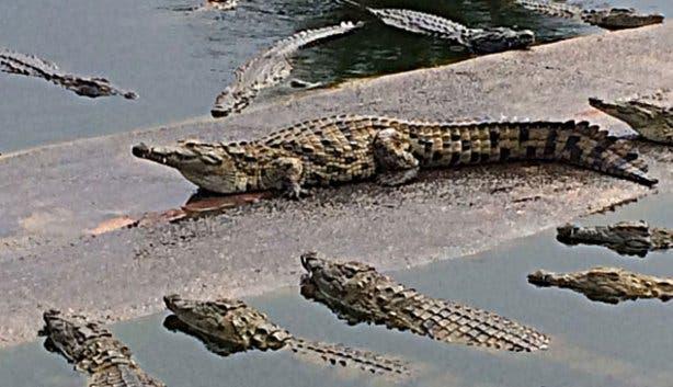 Le Bonheur Crocodile Farm Crocs