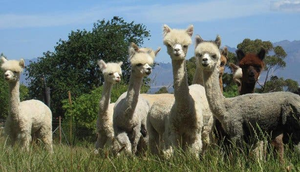 National Alpaca Day - 4
