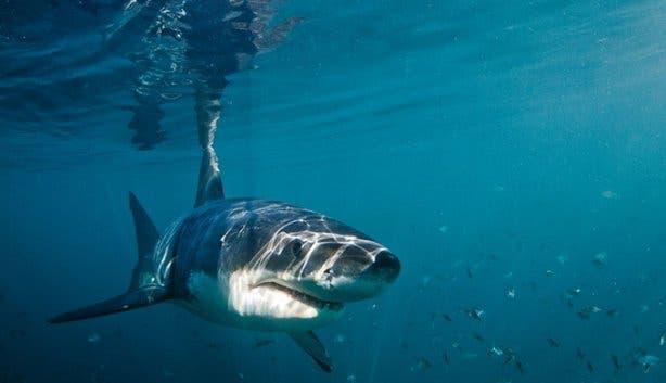 WSDC Shark