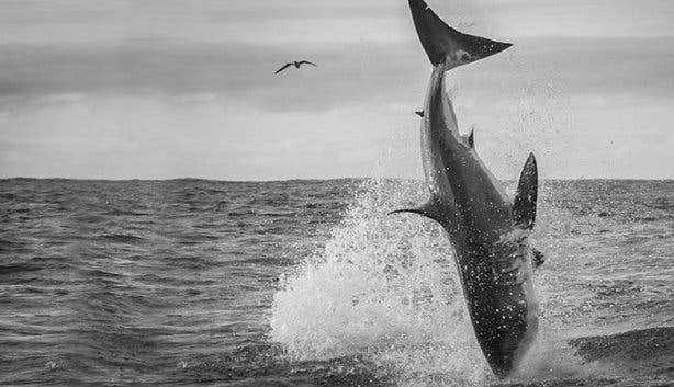 WSDC Shark Breaching 3